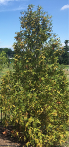 Save a dying tree Arborvitaes trees.