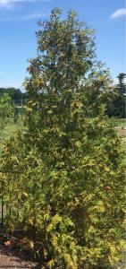 arborvitaes trees