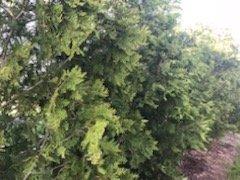 arborvitates trees