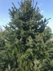 The key is to know when to plant the Siberian Spruce tree.