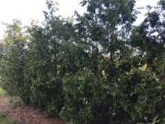 The new Arborvitates trees looking healthy.